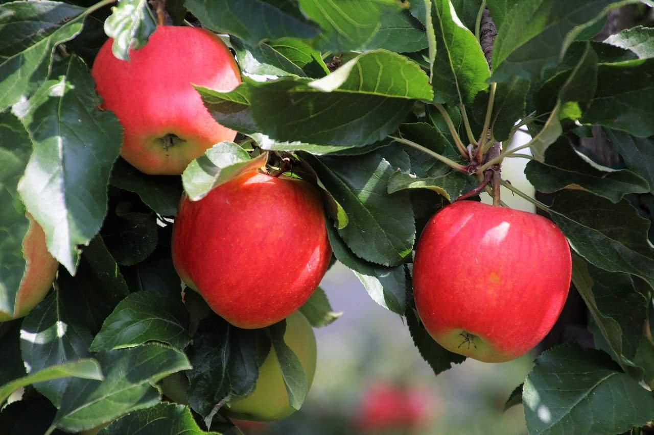 äpfel Gesund